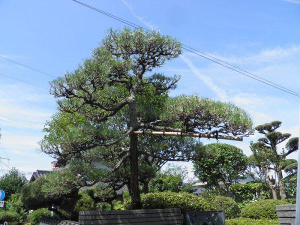 北九州 庭木剪定 松の剪定実績