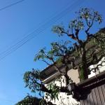 ドングリの木の剪定