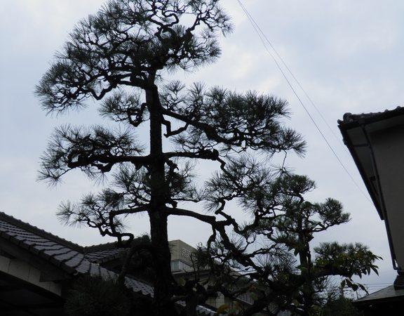 松の剪定 北九州