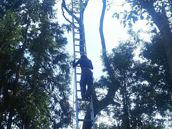 三連梯子で高所伐採