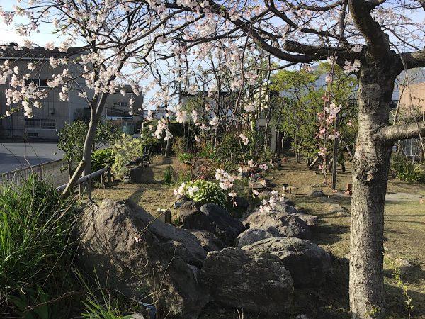 桜の綺麗な工場手入れ